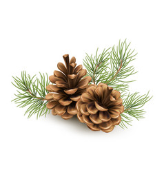 Pine cone with a branch spruce needles isolated vector