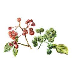 Sichuan pepper raster vector