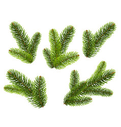 fir tree branches on white background vector image