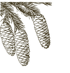 Coniferous branches of trees with cones pine vector