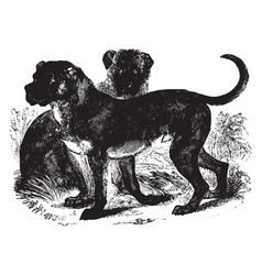 Cuban mastiff vintage vector