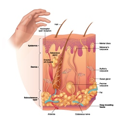 Skin layers with detail vector