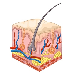 The layers skin and pores vector