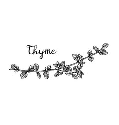 thyme ink sketch vector image