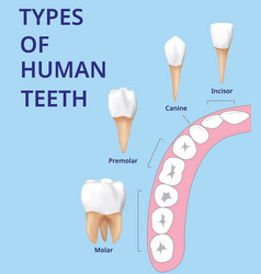 Types human teeth human bone anatomy vector