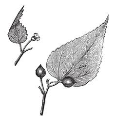 Virginia hackberry vintage engraving vector image vector image