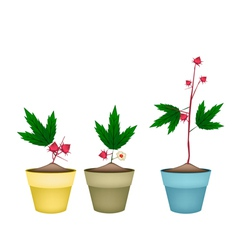 Three Hibiscus Sabdariffa Plant in Ceramic Pots vector image