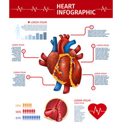 realistic heart infographic banner anatomy info vector image