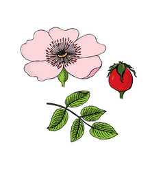 rosa canina dog-rose flowers berries leaves vector image