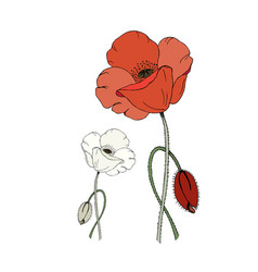 Red and white poppy flower and poppy bud isolated vector