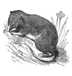 Common Shrew vintage engraving vector