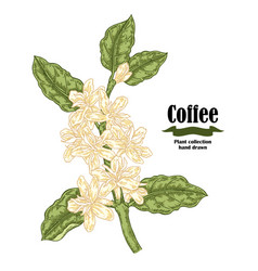 Hand drawn coffee plant with flowers and leaves vector