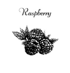 hand drawn vintage isolated raspberry vector image