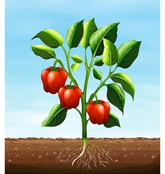 Red capsicum on the tree vector