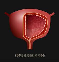 Urinary bladder image vector