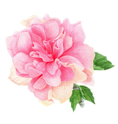 Watercolor tropical pink hibiscus with leaves vector