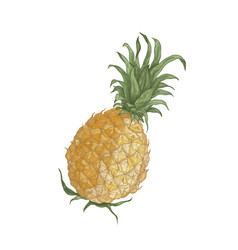 Elegant realistic drawing whole fresh organic vector