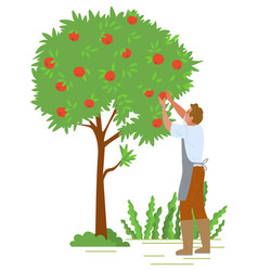 Man picking apples from trees in garden worker vector
