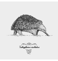 Echidna Tachyglossus aculeatus engraved hand vector image