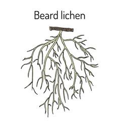 Beard lichen usnea barbata or tree moss vector