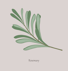 Sprig fragrant rosemary on a gray background vector