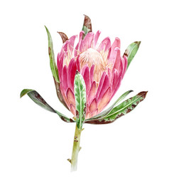 Watercolor protea flower vector