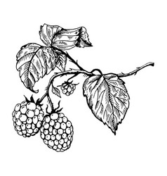 Raspberry engraving vector