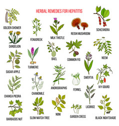 Best herbal remedies for hepatitis vector