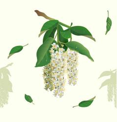 white flowers of bird cherry tree seamless vector image