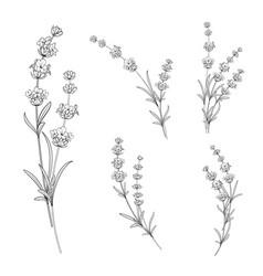 set of lavender flowers vector image vector image