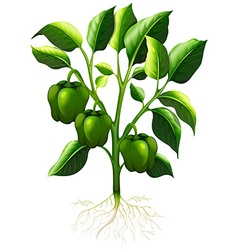Green capsicum with roots vector image vector image