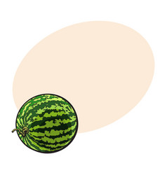perfect whole striped watermelon with curled up vector image vector image