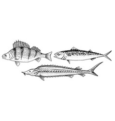 river and lake fish perch or bass scomber or vector image