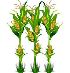 Corn on the field vector