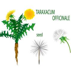 Taraxacum officinale vector