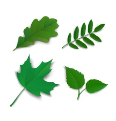 Summer oak maple ash birch leaves vector image