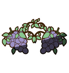 White background with two bunch of grapes with vector