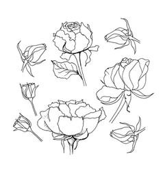 rose set liner on white vector image
