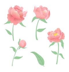 set beautiful peonies white background vector image