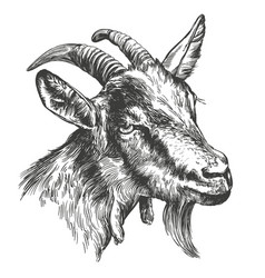 Goat hand drawn realistic vector