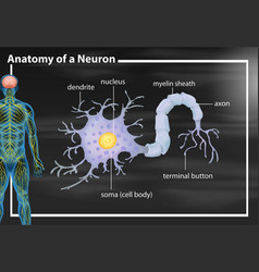 Anatomy of a neuron vector