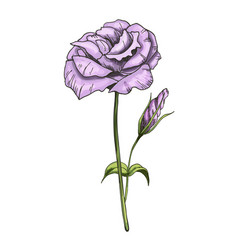 hand drawn eustoma garden flower isolated on vector image