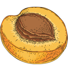 ripe apricot in cross section vector image