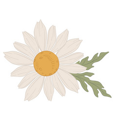Chamomile white blooming flower in blossom vector