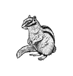 hand drawn chipmunk sketch vector image