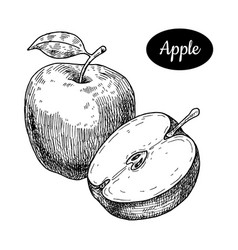 Hand drawn sketch style fresh apple vector