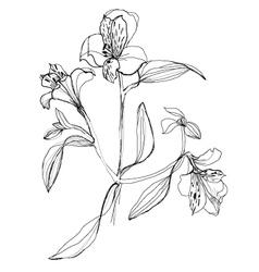 Drawing alstrameriya vector