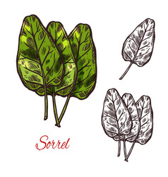 Sorrel vegetable spice herb sketch icon vector