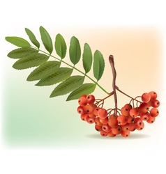 Bunch of ripe rowan vector image