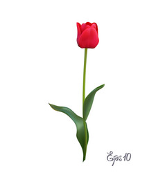 red tulip isolated on white background close up vector image